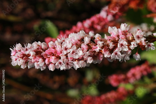 "Photo ""Himalayan Bistort"" flower (or Fleece Flower, Knotweed) in St"