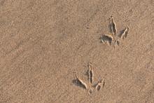 Gull Footprints On Sand