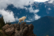 Wild Goat In Mountainous Wilde...