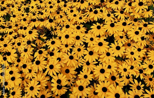 Black Eyed Susan Yellow Flowers Background Looking Down Aerial View Canvas Print