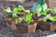 Seedling Of Lettuce In Pot In Peat In The Soil Of A Garden For Plantation