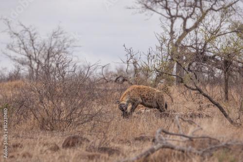 Foto op Canvas Zuid Afrika Hyäne beim Fressen