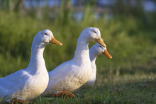 Three White Ducks On The Pond ...