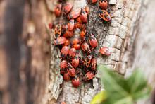 Firebugs (Pyrrhocoris Apterus)