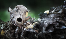 Dead Dog Skull In The Forest, ...