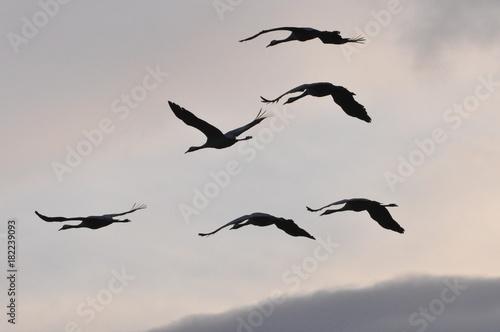 Recess Fitting Bird Naturschauspiel, Kraniche fliegen bei Abenddämmerung am Novemberhimmel