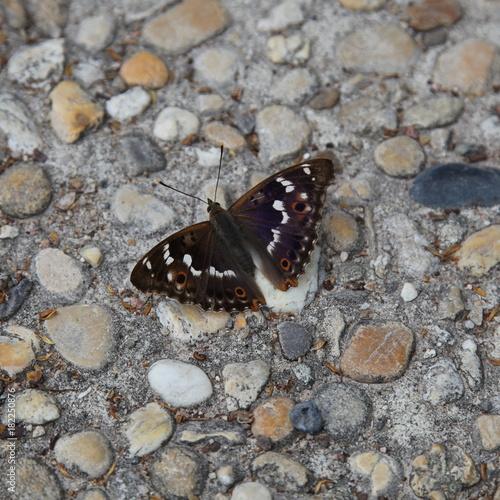 Fotografie, Obraz  Papillon au repos: Moiré sylvicole.
