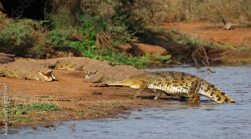 Nile crocodiles (Crocodylus niloticus) basking, Kruger National Park, South Africa.