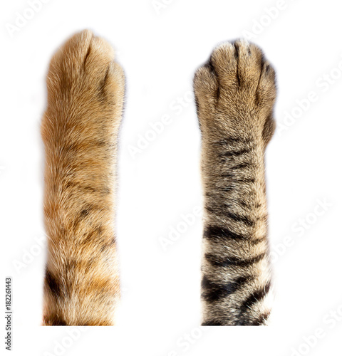 Chat cats paw on white background