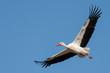 Leinwandbild Motiv Fliegender Weißstorch (Ciconia ciconia)