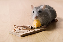 Mouse Trap, Rat Eating Cheese In Mousetrap