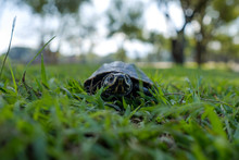 A Small Land Turtle Walks Alon...