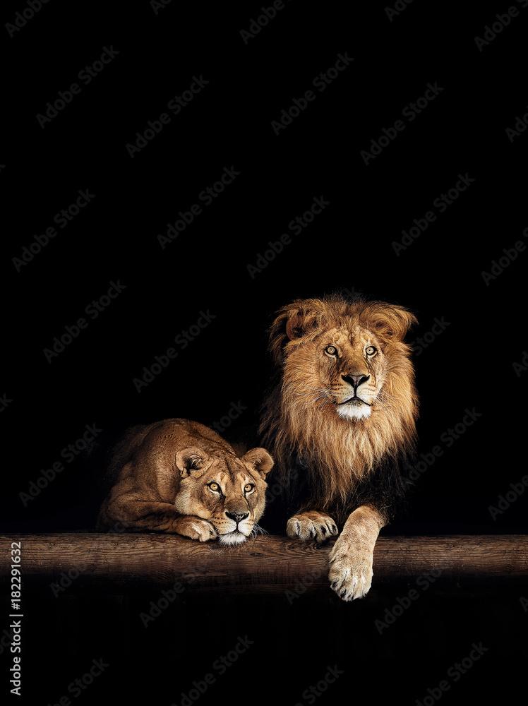 Fototapeta Lion and lioness, animals family. Portrait in the dark