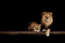 Lion And Lioness, Animals Fami...