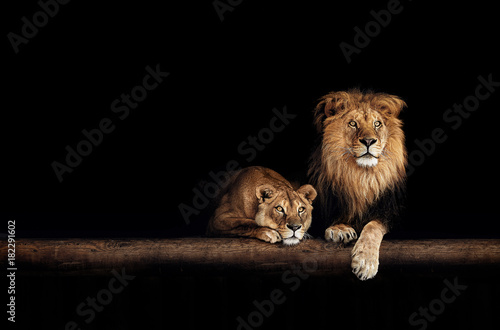 Photo Lion and lioness, animals family. Portrait in the dark