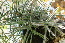 Tree Trunk And Leaves Of Rhipsalis Baccifera Cactus Also Known As Spaghetti Cactus