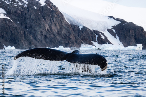 Humpback whale, Antarctic peninsula Wallpaper Mural