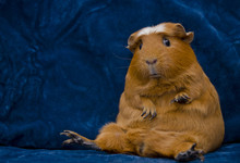 Funny Guinea Pig Sitting In A ...