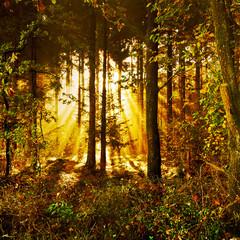 FototapetaSonnenstrahlen in einem mystischen Herbstwald im Morgennebel