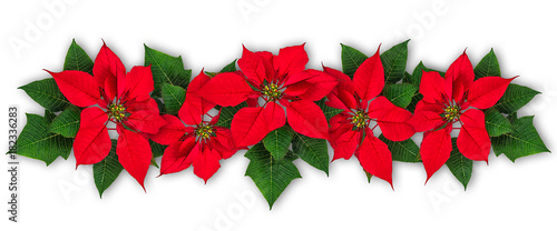 Valokuvatapetti Poinsettia flowers in row isolated