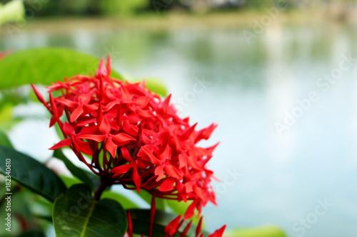 Photo  Close up beautiful Yellow Ixora flower or spike flower King Ixora bloom on water