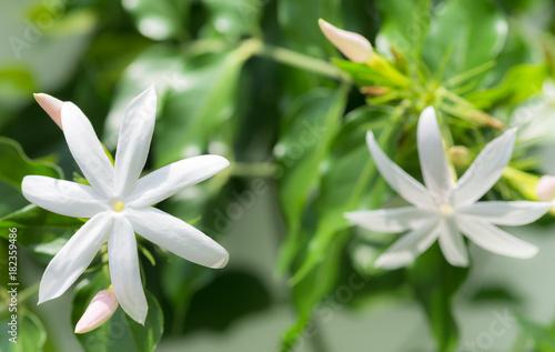 Jasmine flowers close up Canvas Print