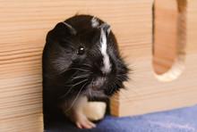 Little Guinea Pig In Wooden Ho...