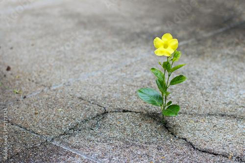 Yellow flower growing on crack street, hope concept Fotobehang