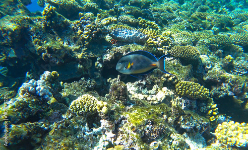 Fotobehang Onder water fish surgeon and coral reef