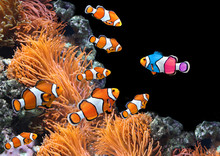 Flock Of Standard Clownfish An...