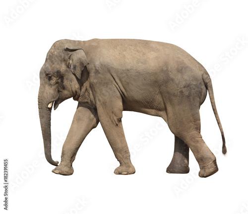Walking elephant (Elephas maximus)