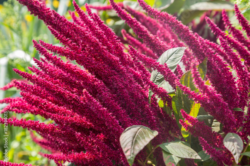 Amaranth is cultivated as leaf vegetables, cereals and ornamental plants in South America Wallpaper Mural