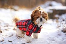 Puppy Shih Tzu In Warm Overall...