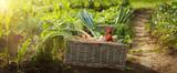 Organic vegetable in wicker basket in garden