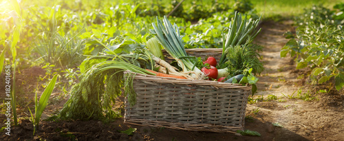 Foto auf Gartenposter Gemuse Organic vegetable in wicker basket in garden