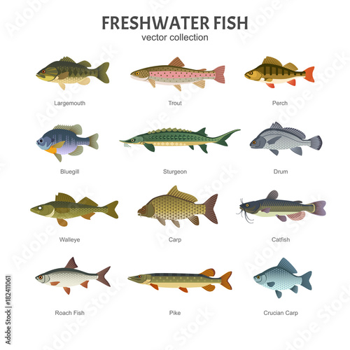 Freshwater fish set. Vector illustration of different types of fish, such as Largemouth Bass, Trout, Perch, Bluegill, Sturgeon, Drum, Walleye, Carp, Pike, Roach Fish and Catfish. Isolated on white. Wall mural