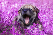 canvas print picture - cute little puppy sitting in the grass with lilac funny open mouth