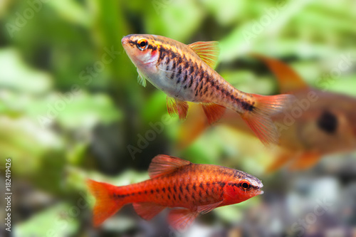 Aquaria still life scene, colorful freshwater fishes macro view, shallow depth of field Canvas Print