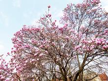Kwiaty Magnolii W Wiosennej Scenerii