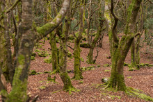 Moss Covered Trees In Barna Wo...