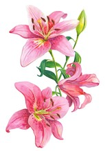 Pink Lilies.Floral Illustration