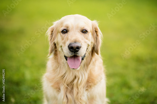 Fototapeta golden retriever