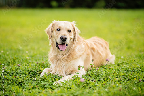 golden retriever Fototapet