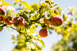 Leinwanddruck Bild - apple tree  Fungal Attacks  Apple Scab  Powdery Mildew  Cedar-Quince Rust  Phytophthora Rots fungus branches with fruit