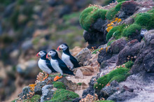 Atlantic Puffins On The Cliffs