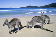 Eastern Grey Kangaroos On Pebbly Beach On The South Coast Of New South Wales, Australia.