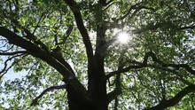 Video Of Sun Dapples Through The Leaves Of Large Leafy Tree.