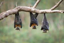 Three Grey Headed Flying Foxes