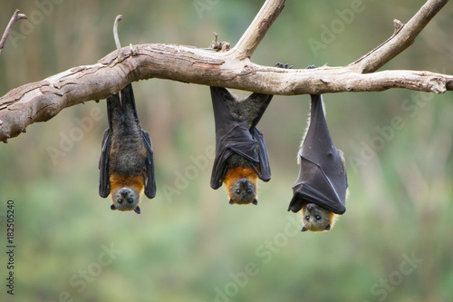 Three Grey Headed Flying Foxes Wallpaper Mural