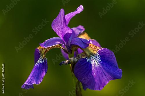 Foto op Canvas Iris Violet iris flower on a green background.